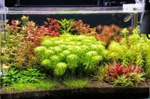 Read more about the article 6 Best Plants for Dutch Style Aquascape Aquarium for Beginners