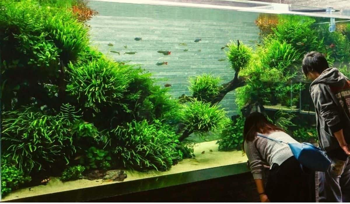 What Is The Best Height To Plant In Aquascape Aquarium