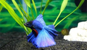 Read more about the article How to Care for Betta Fish for Beginners | Detailed Caresheet
