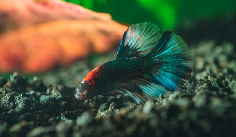 List of Fish that can Live with Bettas in 5, 10, 15, 20-Gallon tank