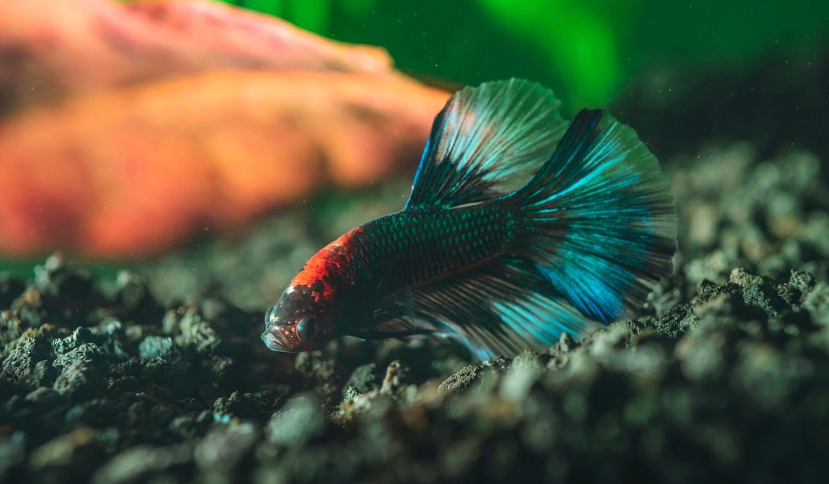 Read more about the article List of Fish that can Live with Bettas in 5, 10, 15, 20-Gallon tank