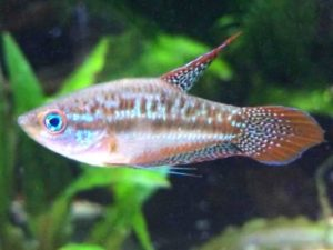 What are Some Aquarium Freshwater Fish that go well with Shrimp.