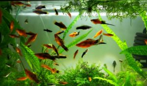 What are Some Aquarium Freshwater Fish that go well with Shrimp