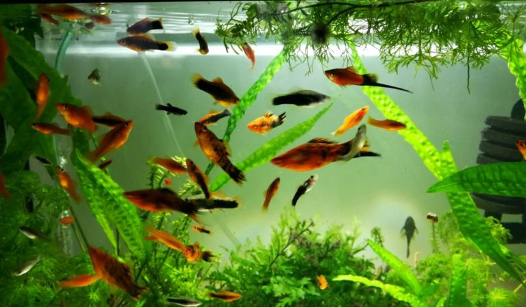 10 Best Freshwater Fish that go well with Shrimp in your Aquarium