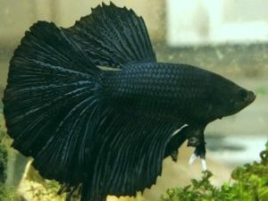 How to Care for Betta Fish for Beginners