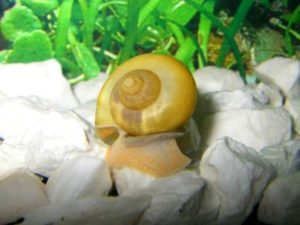 7 ways to get rid of Snails in a Fish Tank