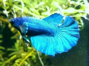 How to identify if you Male Betta or Female Betta Fish
