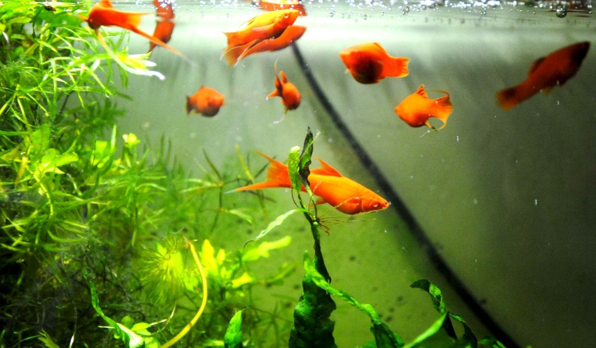 Read more about the article Freshwater Aquarium Fish List for all Tanks