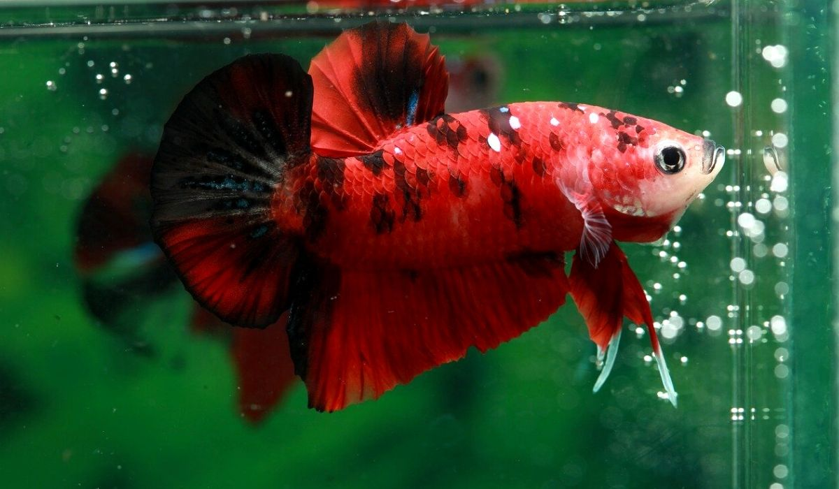 You are currently viewing How to Identify if you Male Betta or Female Betta Fish | 10 Things to note