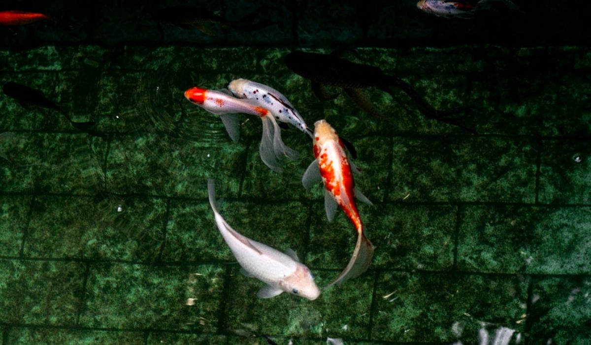 You are currently viewing What Are Koi Betta Fish | Everything you need to know about Koi Betta Fish