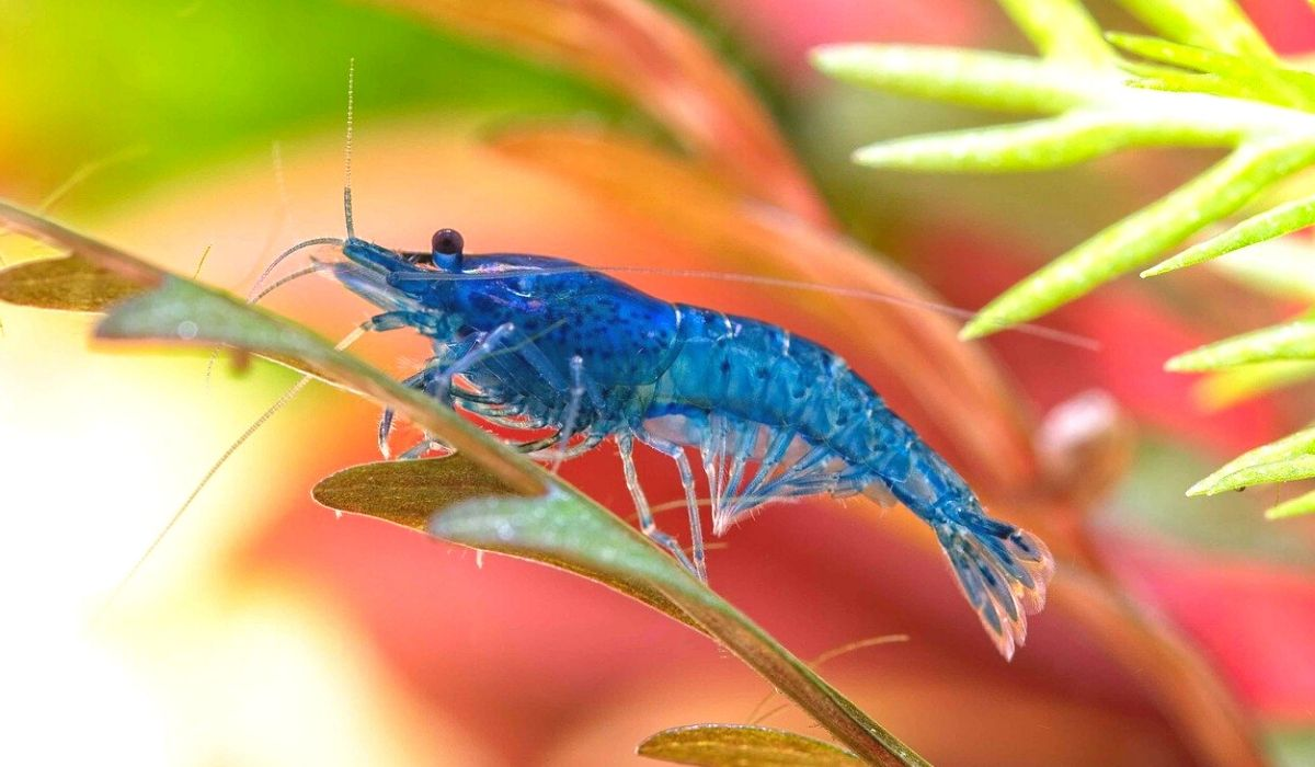 Read more about the article 8 Freshwater Aquarium Shrimp you can keep together