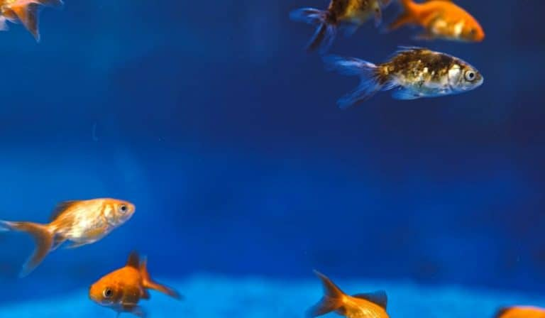 Different types of Cichlids | What Cichlids can be kept together