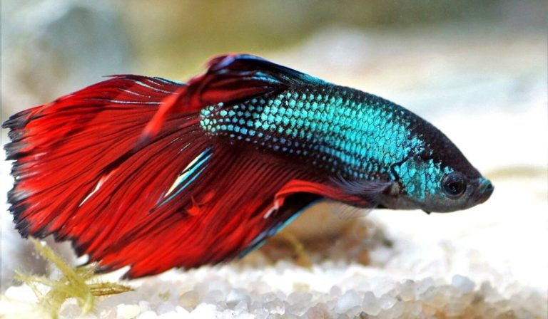 8 Reasons why Betta Fish change Colors | Betta Fish Color Patterns