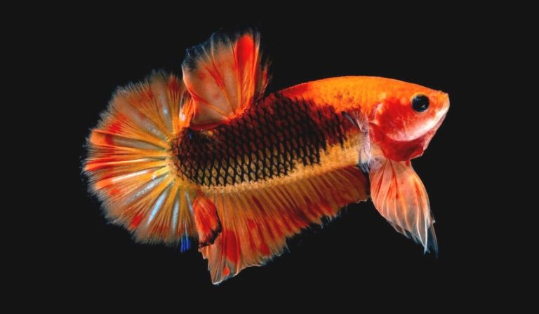 Why do betta fish fins get ripped?