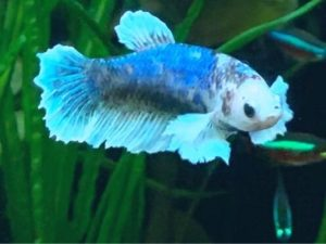 Why do betta fish fins get ripped