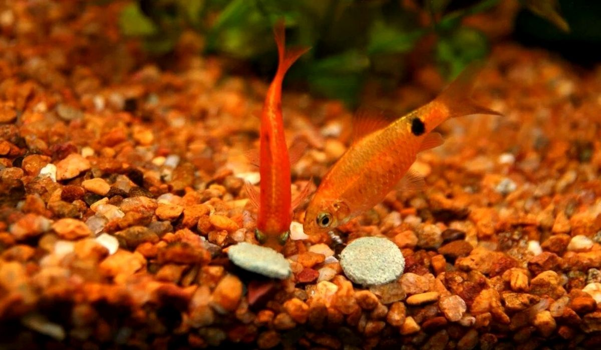 Read more about the article 8 Best Vegetables To Feed Your Tropical Fishes with Cooking Process