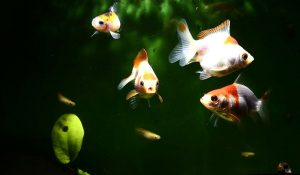 Read more about the article Best Algae Eating Fish for Freshwater and Planted Aquarium