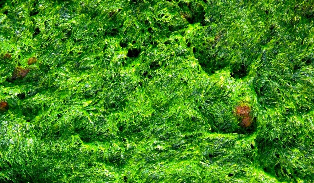 algae in freshwater and planted fish tank
