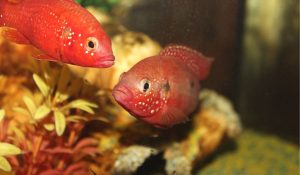 Read more about the article 15 Best Potential Tankmates For Flowerhorn
