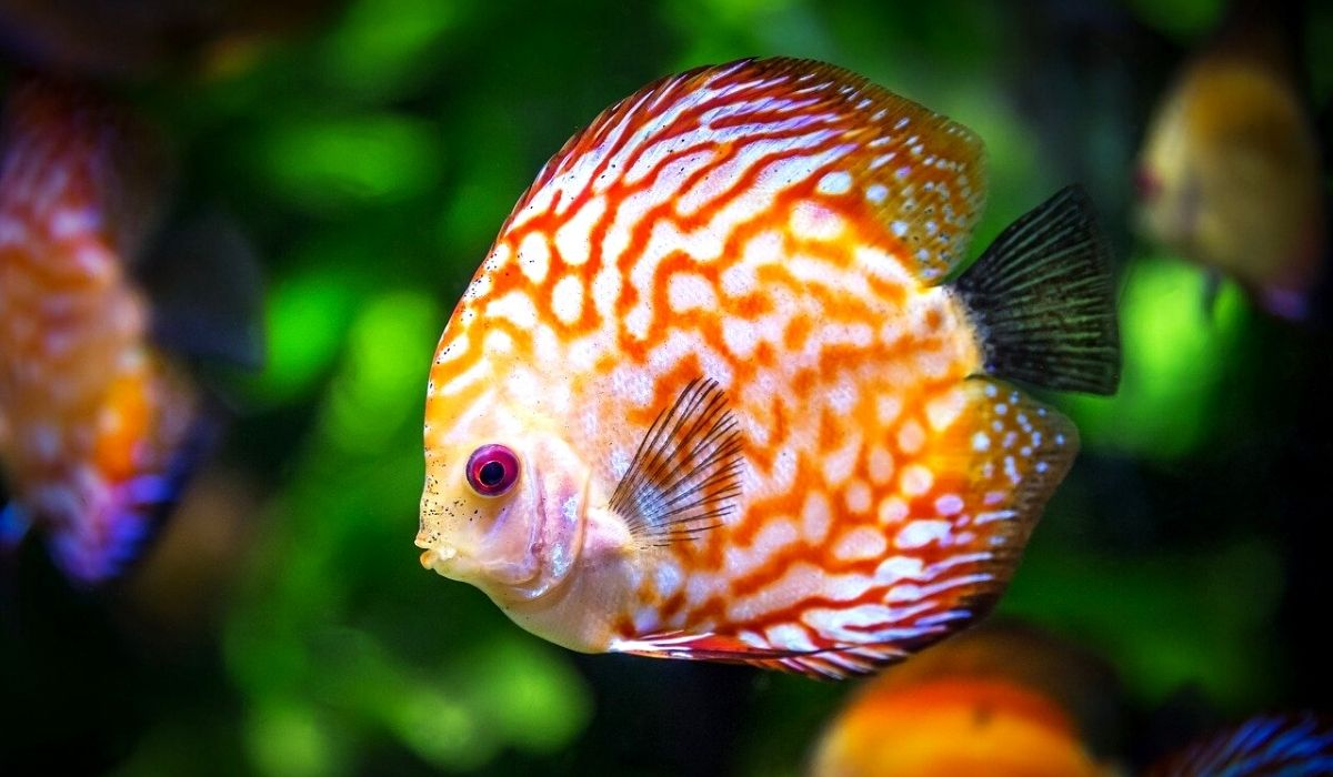 Read more about the article In 10 Steps Build Planted Discus Tank For Beginners | Setup, Maintenance, & Care